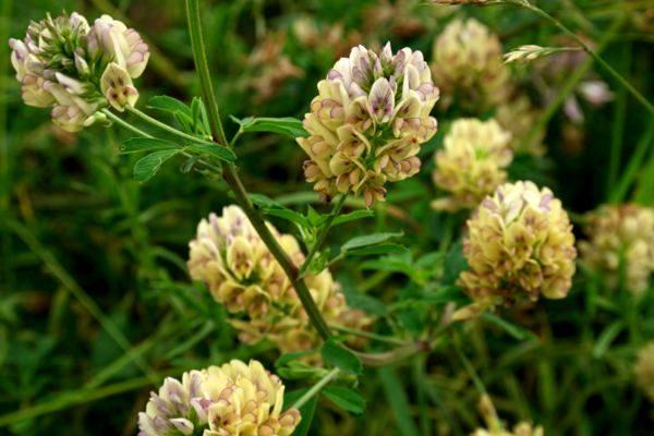 Holbua letur — Литеры люцерны (для садоводов)